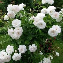 Роза флорибунда Шневитчен (Schneewittchen)