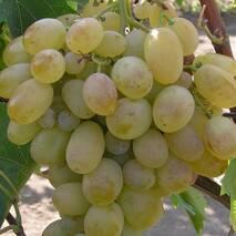 Саджанці винограду сорт Карабурну