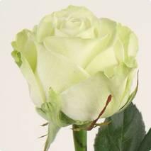 Роза чайно-гибридная Магади NEW