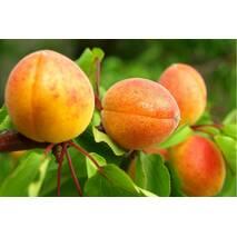 Саженцы абрикоса сорт Амур