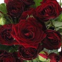 Троянда бордюрна Ред Сенсейшн