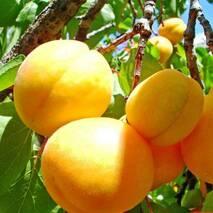 Саженцы абрикоса сорт Наслаждение