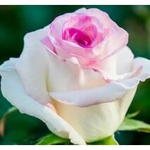 Троянда чайно-гібридна Дольче Вита нова