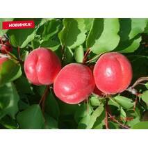 Нектарин средне-поздний сорт Магали