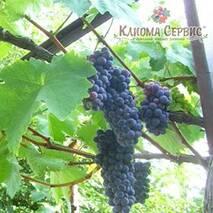Саженцы винограда сорт Черная жемчужина