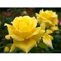 Саженцы роз сорт Ландора (Landora)