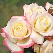 Саженцы чайно-гибридной розы Athena (Атена)