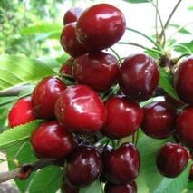 Саженцы черешни сорт Мелитопольская черная