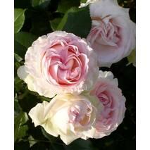 Роза махровая английская Heart of Rose (Сердце розы)