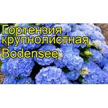 Гортензия крупнолистна Bodensse