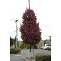 Клен гостролистий Crimson Sentry 1.7м, Клен остролистный Кримсон Сентри, Acer platanoides Crimson Sentry