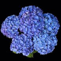 Гортензия крупнолистная jip blue