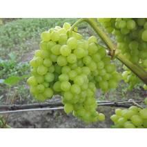 Виноград кишмиш Володар  (ІВН-105)