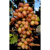 Виноград Парижанка   (ІВН-101)