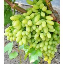 Виноград Кишмиш Століття  (ІВН-115)