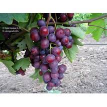 Виноград Тюльпан (ІВН-106)