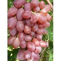 Виноград Лада Т (ІВН-113)