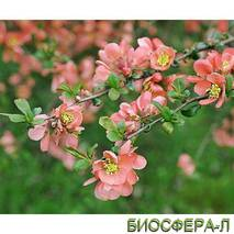 Айва средняя (Хеномелес) Pink Trail