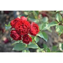 Роза спрей Кордула (ІТЯ-152)