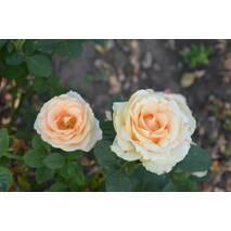 Троянда чайно-гібридна Талея (ІТЯ-242)