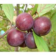 Сливово-вишневий гібрид Мейнор (ІСЛ-77)