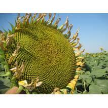 Семена подсолнечника Сворд Ир