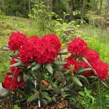 Рододендрон гібридний Busuki 2 річний, Рододендрон гибридный Бузуки, Rhododendron Hybride Busuki