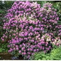 Рододендрон гібридний Purpureum Grandiflorum 2 річний, Рододендрон гибридный Пурпуреум Грандифлорум,