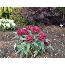 Рододендрон гібридний Kali 2 річний, Рододендрон гибридный Кали, Rhododendron Kali