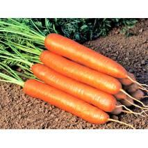 Морковь Лисичка-Сестричка за 20 г (ЕМР-76)