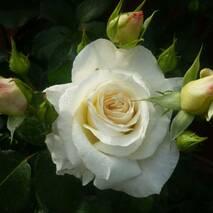 Саджанці троянди Шнівальце (ІТЯ-121)