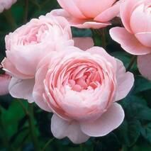 Троянда англійська Квін оф Шведен (ІТЯ-420)