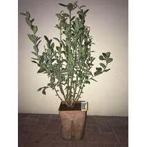 Саджанці лохини Бригіта Блу 1-4 річні