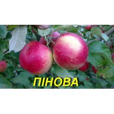 "Саженец яблони ""Пинова"" ЗКС) 3 г."