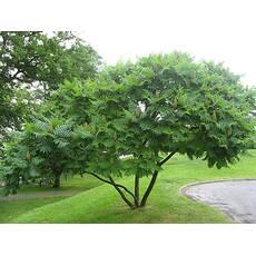 Уксусное дерево (Сумах) ф. куст, дерево
