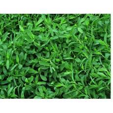 Семена спорыша газон для ленивых.