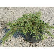 "Ялівець звичайний ""Репанда"" (Juniperus communis Repanda)"