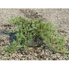 """Ялівець горизонтальний """"Джейд Рівер"""" (Juniperus horizontalis Jade River)"""