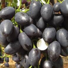 Саженцы винограда Надежда АЗОС