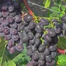 Саженцы винограда Юпитер