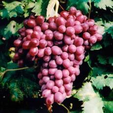Саджанці винограду Лівія