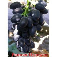 Живці винограду Надія Рання