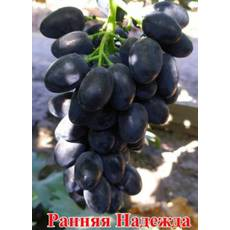Черенки винограда Надежда Ранняя