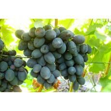Черенки винограда Руслан