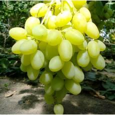 Саджанці винограду Конвалія