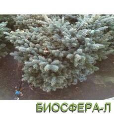 Ялина колюча Глаука Глобоза (Picea glauka Globosa)