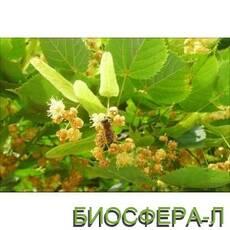 Липа серцелиста (Tilia cordata)