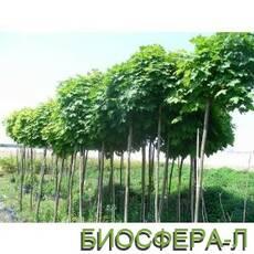 Клен гостролистий Глобозум (Acer platanoides Globosum)