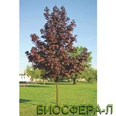 Клён остролистный Роял Ред (Acer platanoides Royal Red)