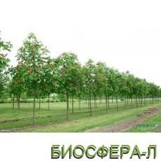 Каштан Бриоти (Aesculus carnea Briotii)